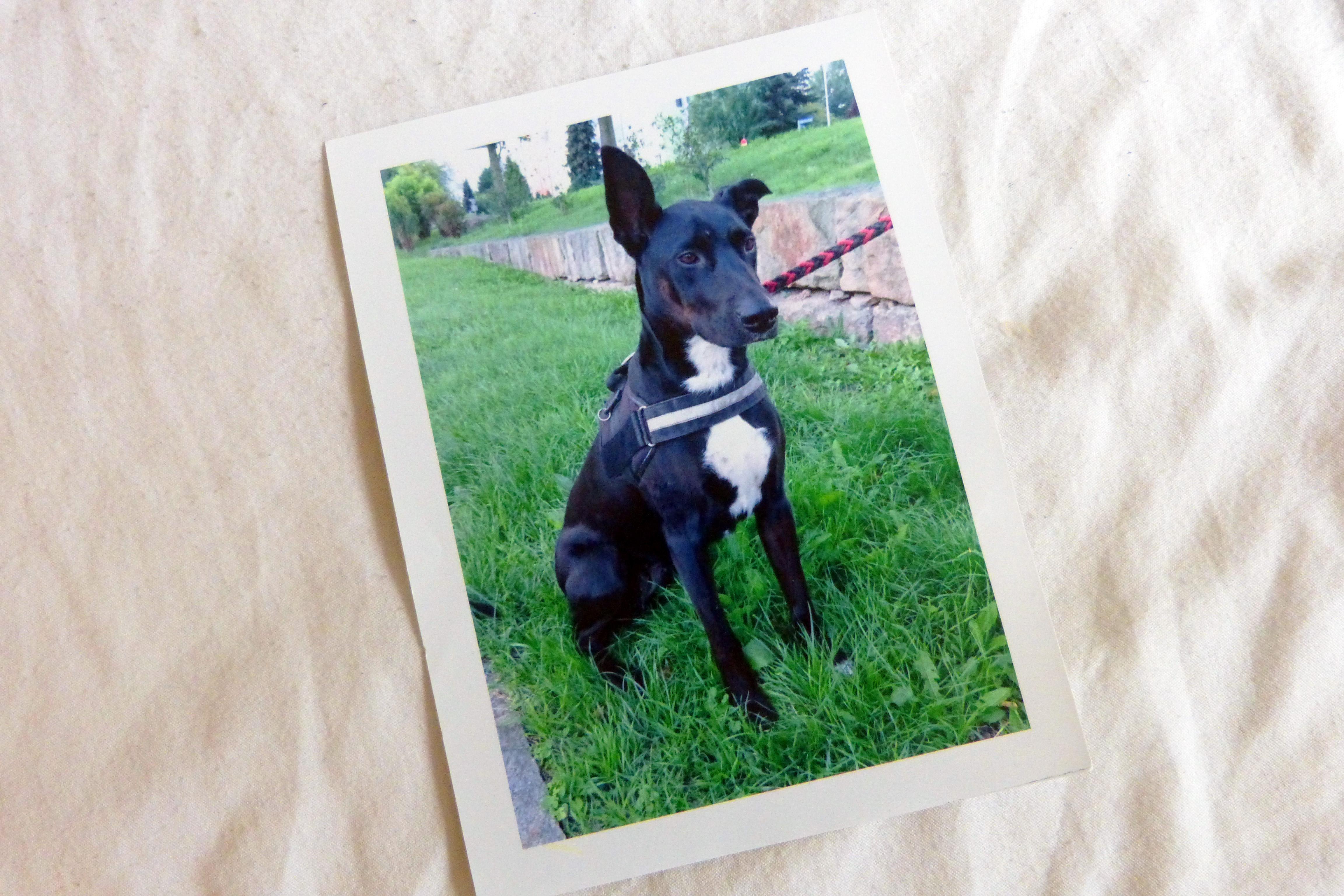 Das eine Ohr steht immer nach oben - ein Steh-Ohr, erzählt Dennis als er das Foto seiner Hündin Baylie betrachtet.