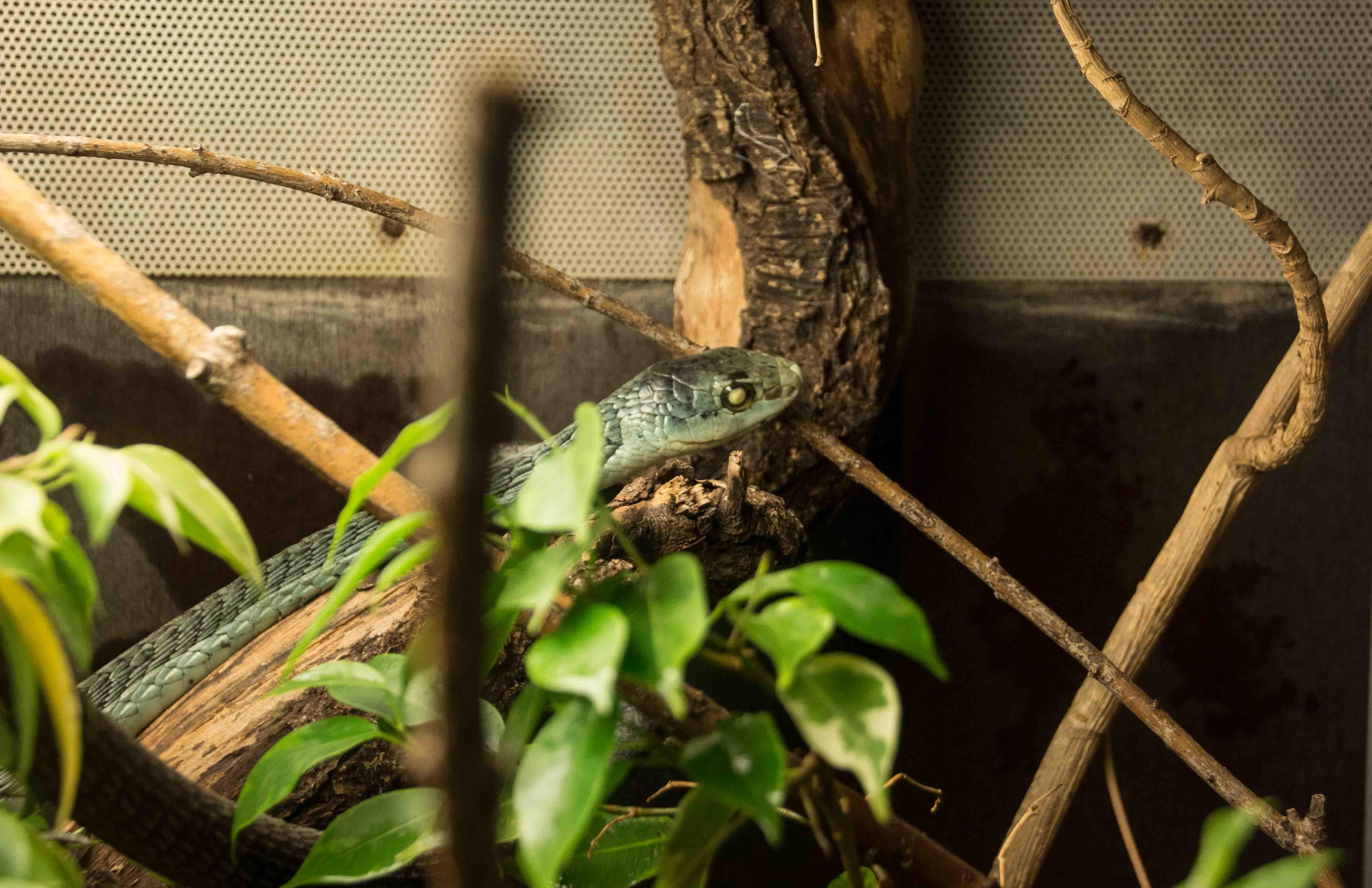 Die Boomslang, eine giftige afrikanische Baumschlange, ist blind.
